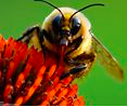 bumble bee - National Wildlife Federation