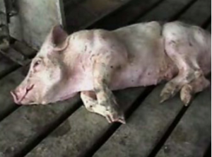 pig tortured to death. Photo: PeTA