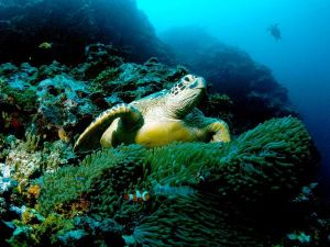green-sea-turtle_564_600x450