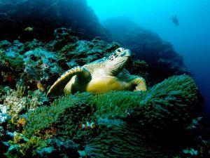 green-sea-turtle_564_600x450