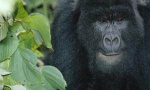 mountain gorilla in the Virunga National Park. Photo: WWF