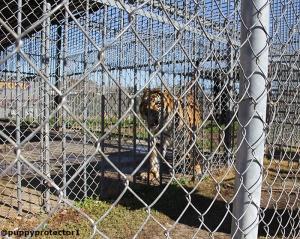 PeTA´s photo of Tony  the Tiger