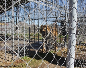 PeTA´s photo of Tony  the Tiger