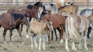 Photo: ProtectMustangs.org