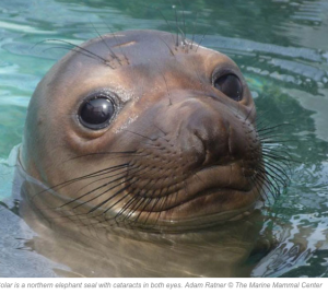 Solar, the seal. Photo: Adam Ratner, the Marine Mammal Center