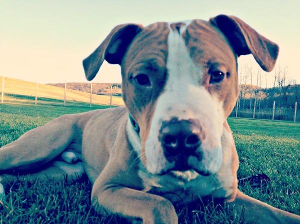 """""""pit bull"""" dog selfie"""